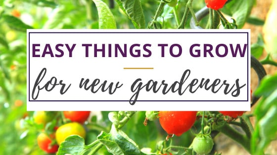 a tomato plant with ripe tomatoes easy to grow