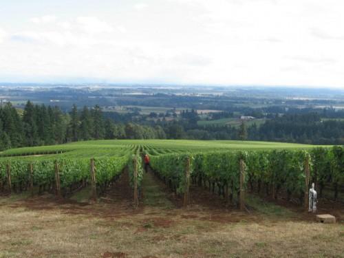 Dans les vignes chez Domaine Drouhin. Les rangs les plus serrés rencontrés de tout le voyage!