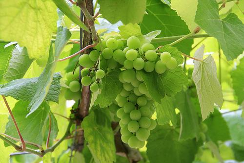 Buena uva,buen albariño. (Miguel (respenda) @ Flickr)