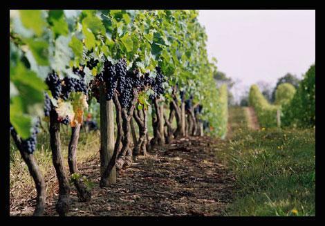 Vignoble du Brulhois (Source: http://www.vigneronsdubrulhois.com/)