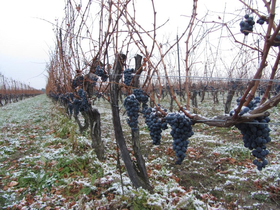 Neige sur les grappes de Cabernet Sauvignon chez Stratus