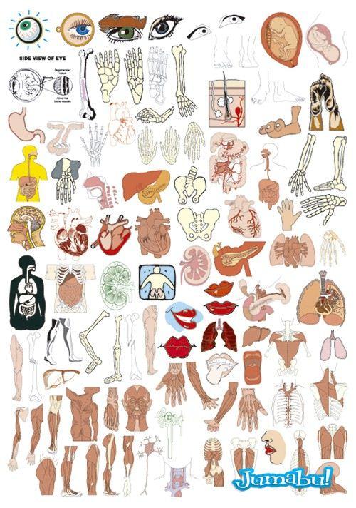 anatomia-humana-vectores