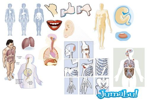 cuerpo-humano-vectores-organos