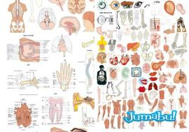 anatomia - Organos del Cuerpo Humano en Vectores