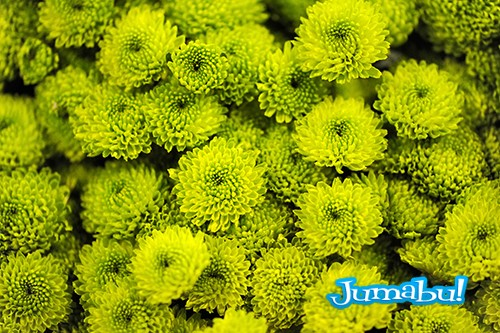 Fresh green chrysanthemums
