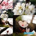 flores-japonesas-flor-bach