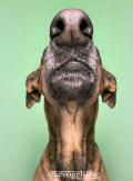 perro-aullando