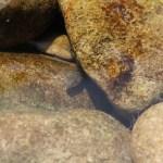 岩に隠れる鮎