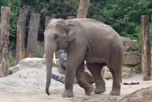 Hier sieht man ein Bild eines jungen Elefanten im Heidelberger Zoo