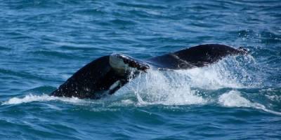 Ein Buckelwal! Ohne Witz! Das ist die Flosse eines wunderschönen Buckelwals beim Abtauchen