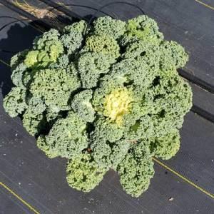 Flowering-Kale-Yokohama-White