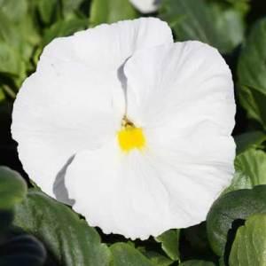 Pansy-Delta-Premium-Pure-White