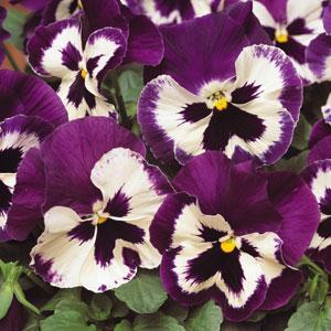 Pansy-Matrix-Purple-and-White