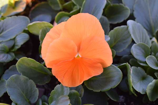 Pansy-Spring-Matrix-Deep-Orange
