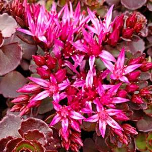 Sedum_Mahogony_Red