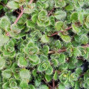 Thymus pseudolanuginosus Woolly