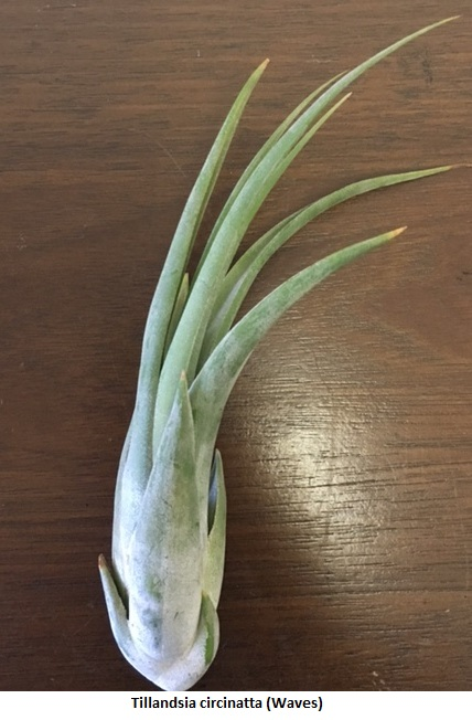 Tillandsia circinatta (Waves) Image