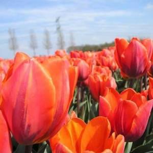 Tulip (Spring)