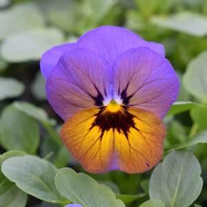 Viola (Fall)