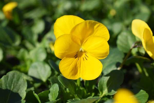Viola-Sobert-XP-Yellow