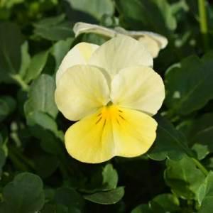 Viola-Sorbert-Lemon-Chiffon