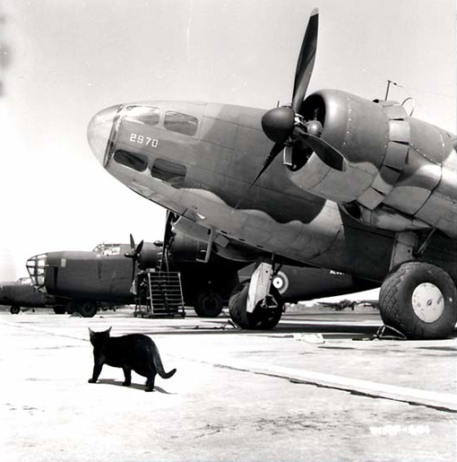 A cat on patrol on the Dorval tarmac; in the background Liberators and Hudsons are lined up. Cats were used to destroy rodents that could damage the canvas-covered airframes.