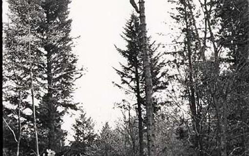 En Écosse, un bûcheron du Corps forestier canadien se hisse en haut d'un arbre droit pour le préparer à l'abattage, en 1941.