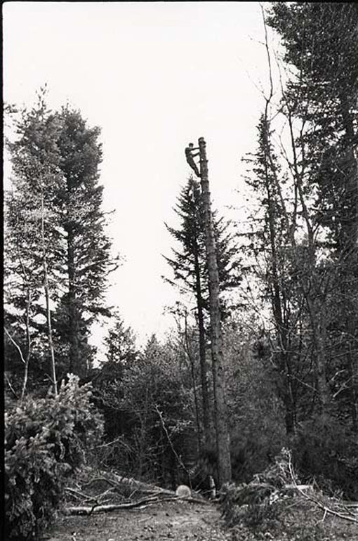 High rigger atop spar tree, Canadian Forestry Corps, Scotland, 1941.