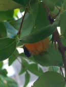abelha na pitanga