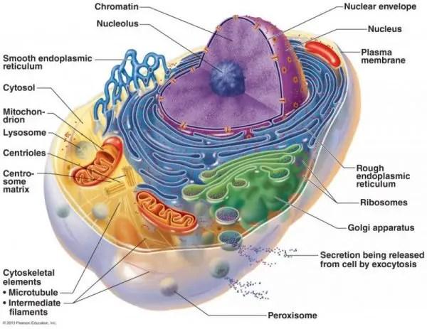 gambar organel sel hewan beserta bagian-bagiannya