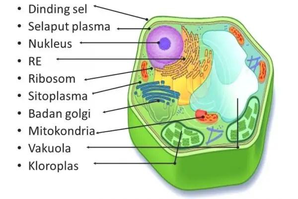 Organel Sel Tumbuhan Struktur Gambar Fungsi Ciri Khas Lengkap