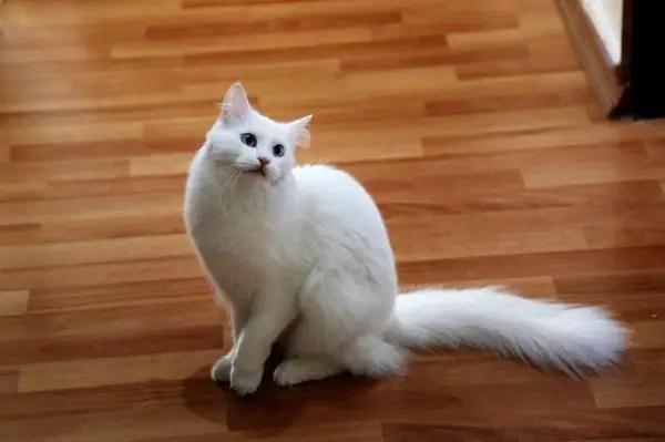 Contoh Teks Deskripsi Tentang Kucing Anggora