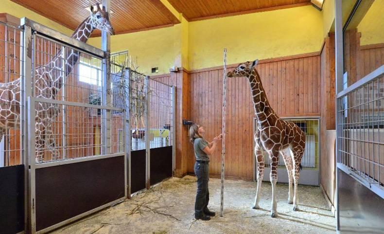 masurator de girafe