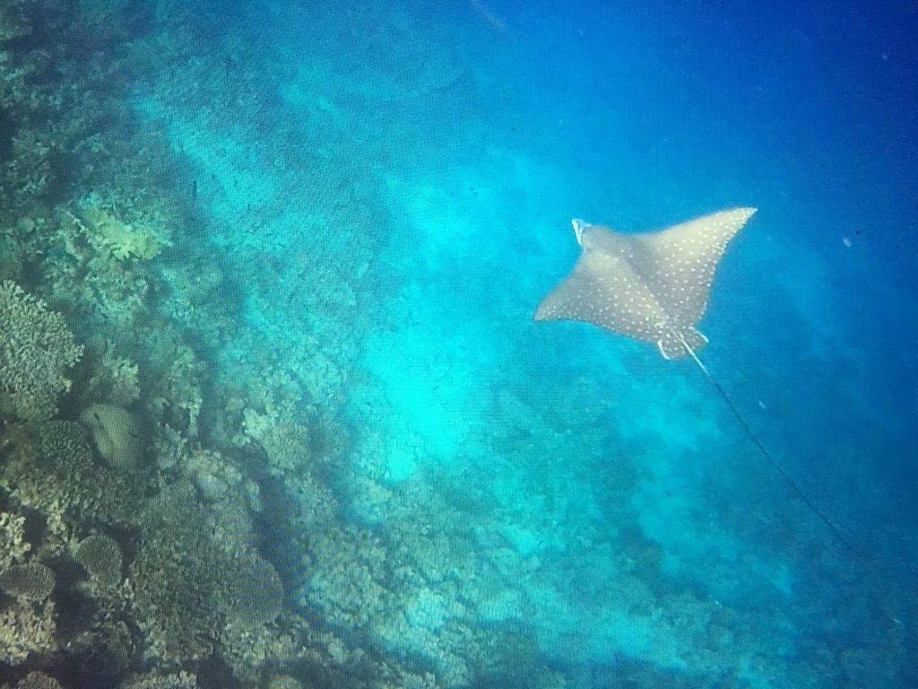 Adlerrochen bevölkern ebenfalls die Riffe im Baa Atoll: Diese bezaubernden Tiere könnte man stundenlang beobachten. Foto: Sascha Tegtmeyer
