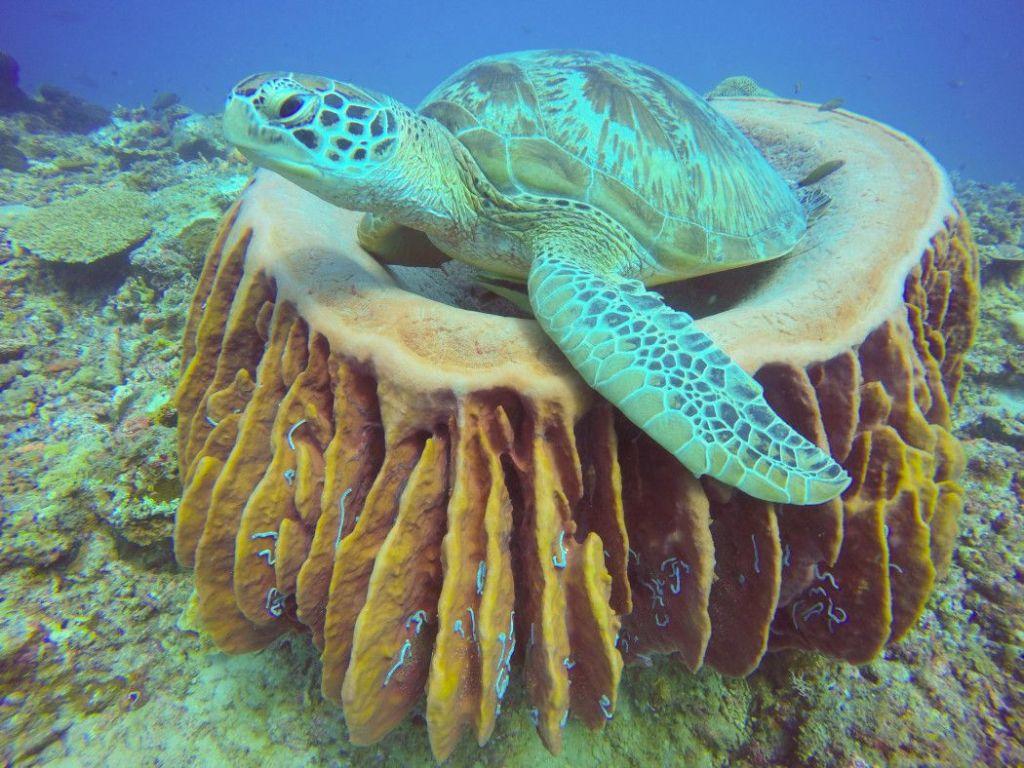 Schildkröte am Tauchspot Frogfish Point. Foto: S. Tegtmeyer