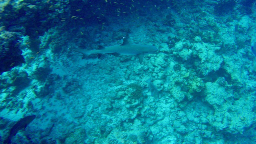 Ein Weißspitzen-Riffhai zieht seine Kreise.