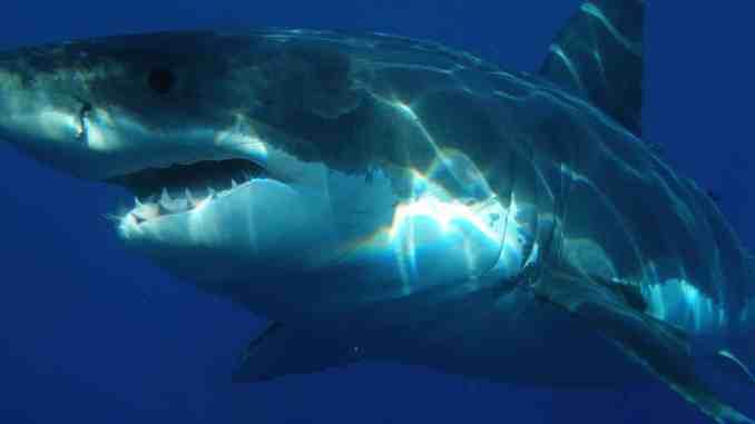 Weißer Hai vor Mallorca: Das etwa fünf Meter lange Tier wurde vor der Südküste der Urlaubsinsel entdeckt. Foto: Pixabay
