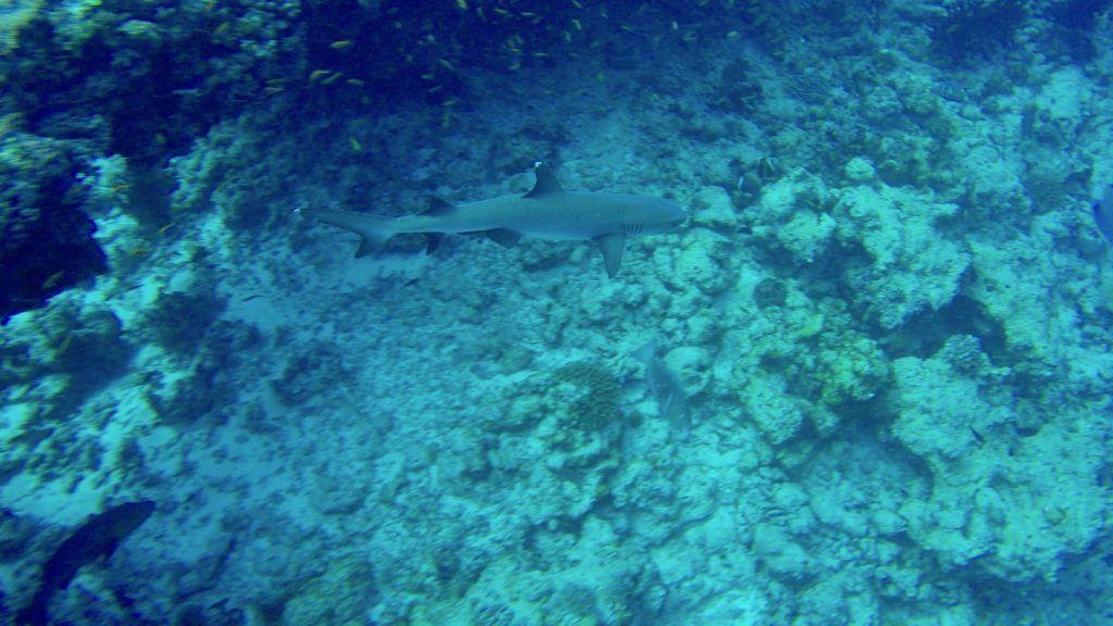 ¡Un tiburón de arrecife de punta blanca como este se puede encontrar en las Maldivas mientras bucea, pero también en snorkel y remo de pie! Foto: Sascha Tegtmeyer