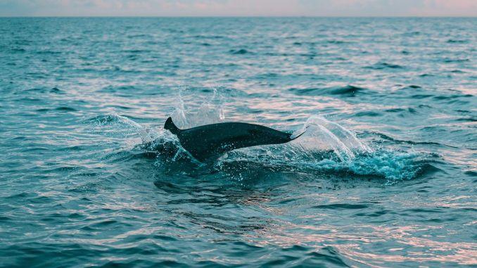 Lübecker Bucht: Ein Delfin wurde bei Travemünde gesichtet! (Symbolbild) Foto: Pexels