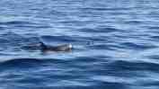 Das Whale Watching auf Teneriffa beginnt häufig in Los Gigantes – und man trifft dabei regelmäßig auch auf Delfine. Video: Sascha Tegtmeyer