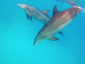 Dolphins in the Red Sea: Tourists can swim with dolphins in several places. Photo: Sascha Tegtmeyer