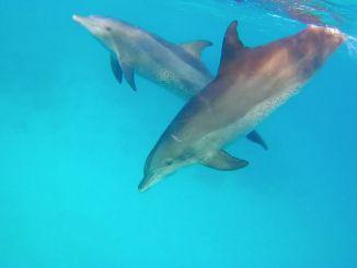 Delfines en el Mar Rojo: los turistas pueden nadar con delfines en varios lugares. Foto: Sascha Tegtmeyer