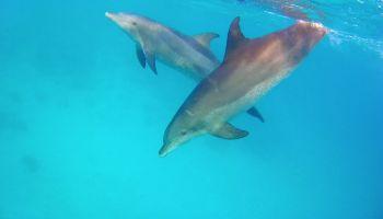 Delfine im Roten Meer: Urlauber können an mehreren Orten mit Delfinen schwimmen gehen. Foto: Sascha Tegtmeyer