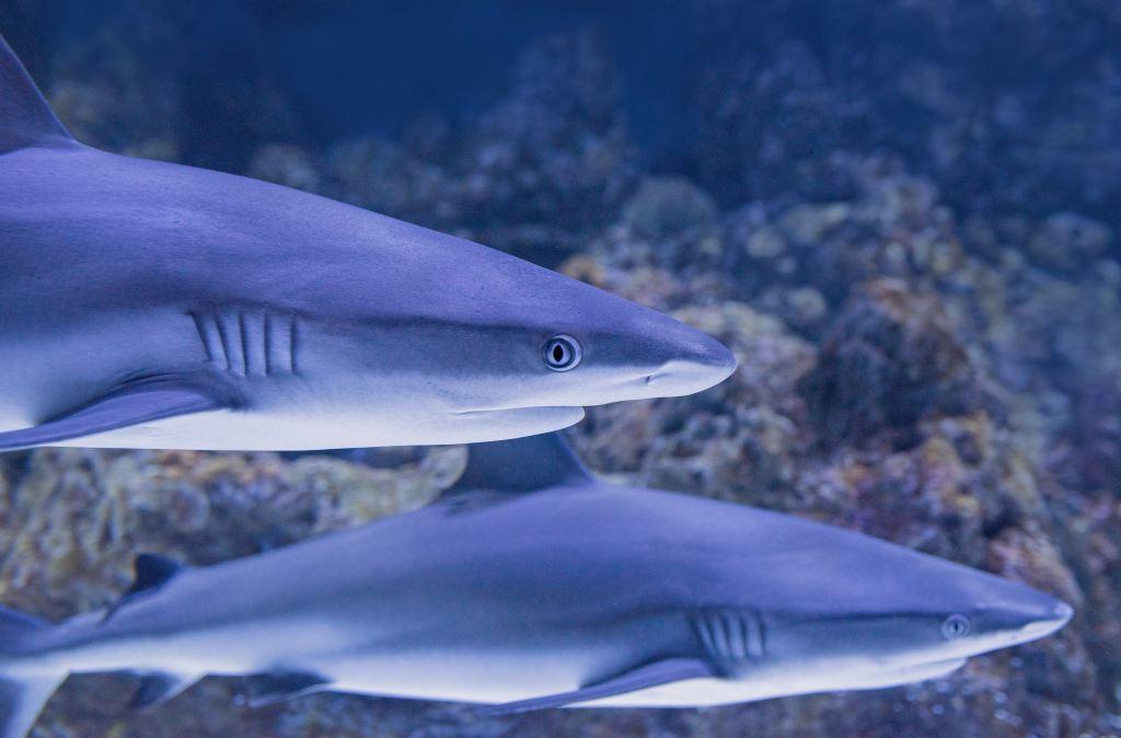 Graue Riffhaie kann man an vielen Reisezielen entdecken und entspannt beim Tauchen beobachten. Die Raubfische sind jedoch ziemlich scheu und nehmen schnell reisaus, wenn Menschen kommen. Foto: Unsplash