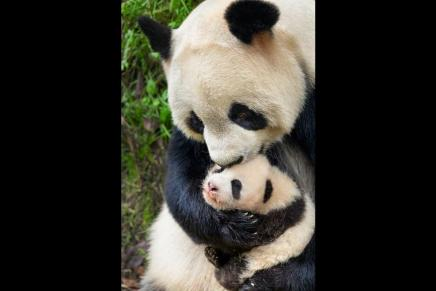born in china disney pandas baby