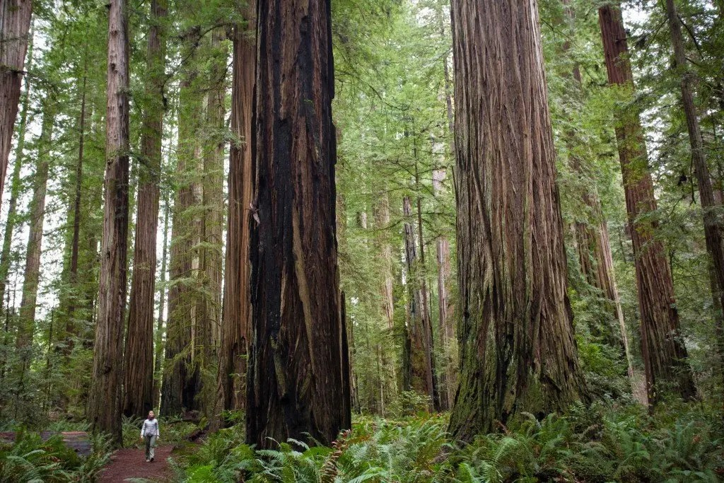 Jedediah Smith Redwoods State Park Just A Colorado Gal