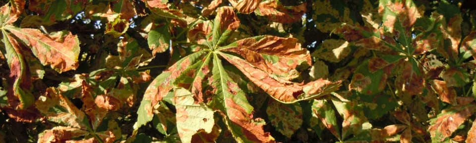 Chestnut leaves in the autumn. Other leaves fade. The chestnut falls apart.