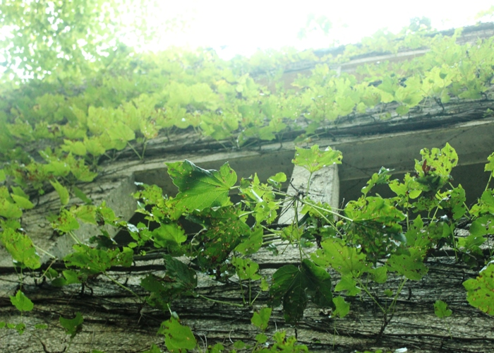 Ivy Covered Wall Parking Garage