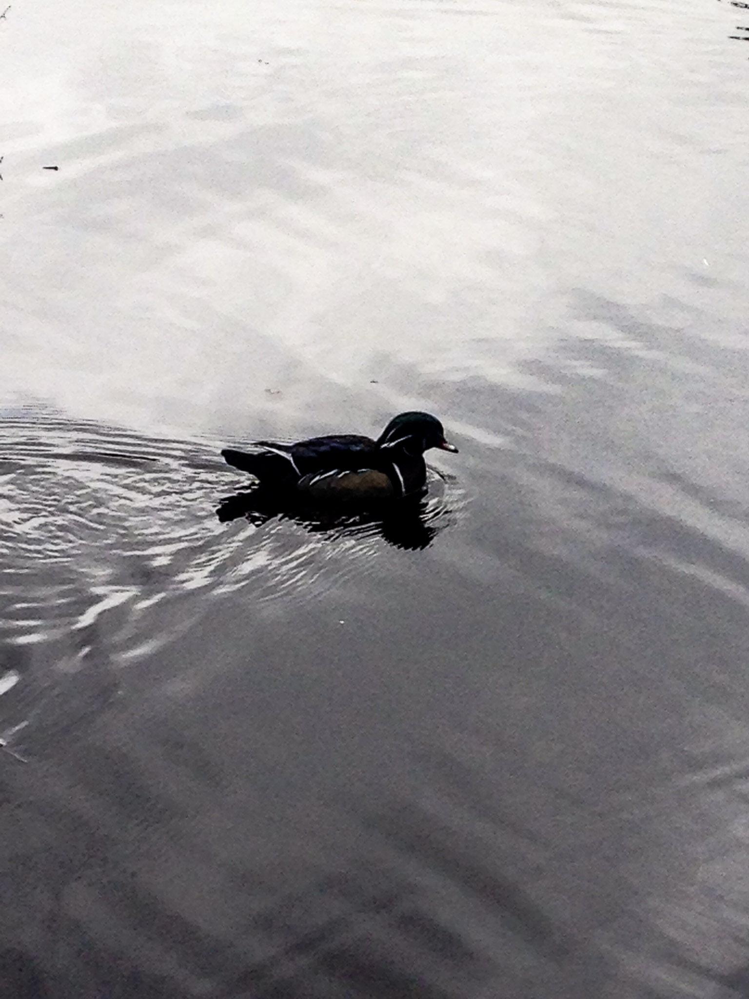 A Duck Pond In Stanley Park