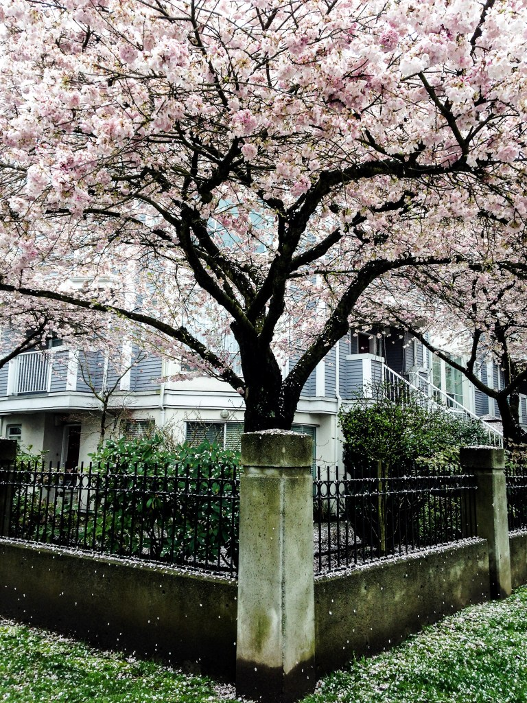 Cherry Blossom Season In Vancouver